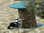 LesserSpottedWoodpecker